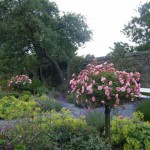 Bonica Rose Tree